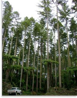 Douglas fir stand