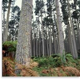 Pinus radiata stand