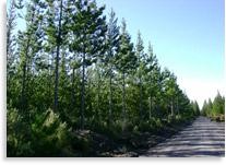 Pruned Pinus radita stand - Aged 10 years old