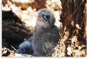 Falcon chick in Kaingaroa Forest